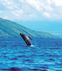 maui-whale2